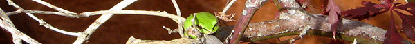 tree frog, tree branches, brown background