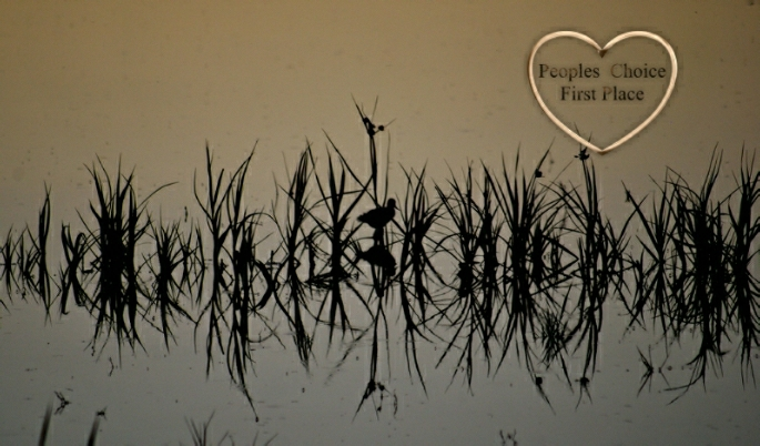 Duck silhouetted among water plants-mirrored image