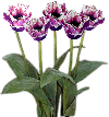 Transparent background fringed Tulip SMALL