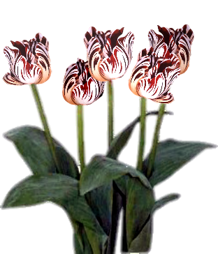 Transparent background red and white Tulips