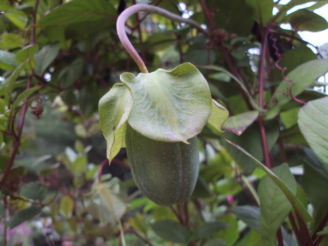 how to grow cobaea scandens from seed