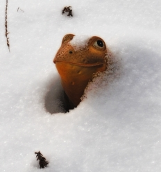 Ornamental garden frog peeking from snow