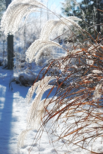 Backlit frosted plume grass