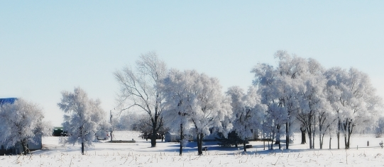 Row of trees heavily laden with frozen frost