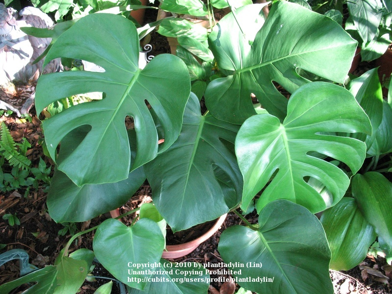 Large Leaf House Plants Close Up Of The Swiss Cheese Plant Leaf Photo By 11 Full Size Of