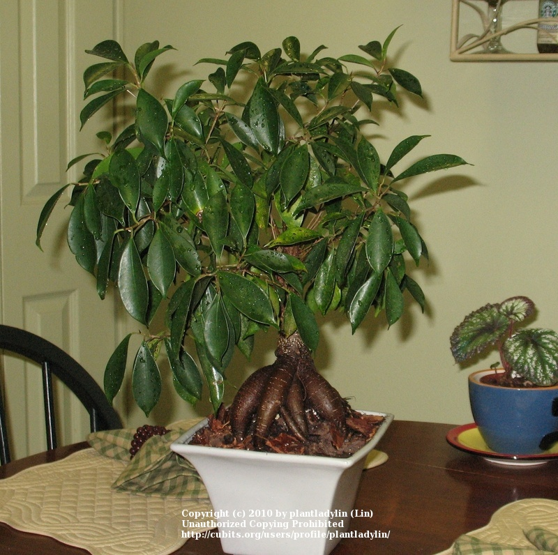 house plants a photo of ficus benjamina weeping fig b