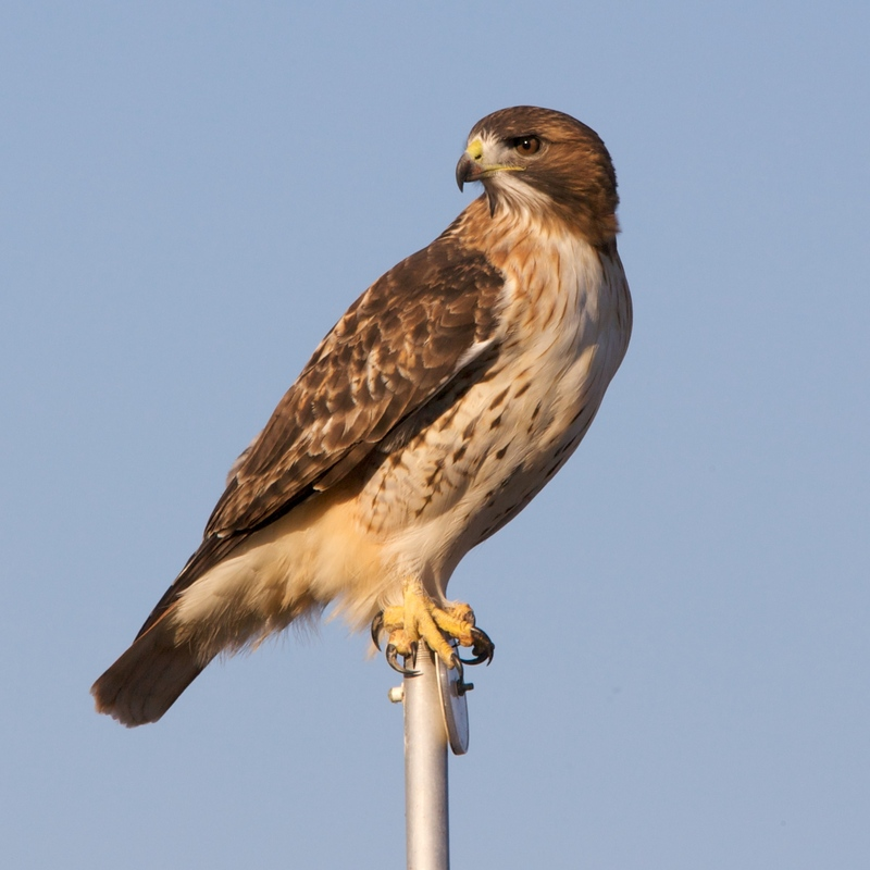 Nature photography cubit for the birds forum red tailed - Red tailed hawk wallpaper ...