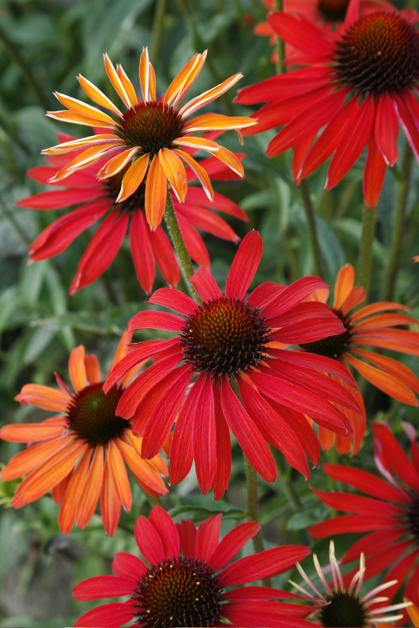 Echinaceas cubit: Grow This: Color-Changing Echinacea