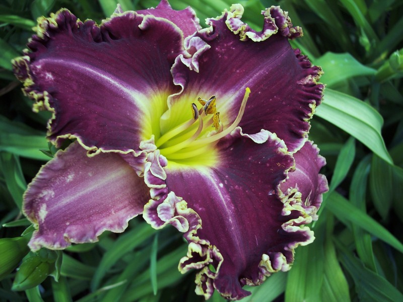 Daylilies In The Desert Cubit: Daylily Chat Forum: New
