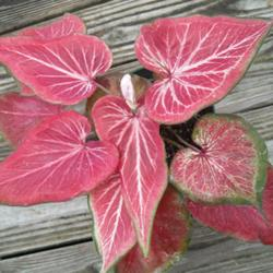 Pink Sword Thai Caladium