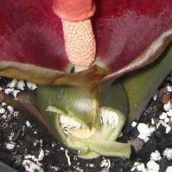 Typhonium trilobatum closeup