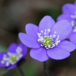 common Hepatica, Hepatica nobilis