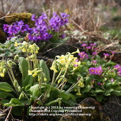 Oxlip, Amoena primrose (back) and English primrose (left)