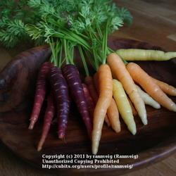 Carrots 'Purple Haze' and 'Rainbow Mix'