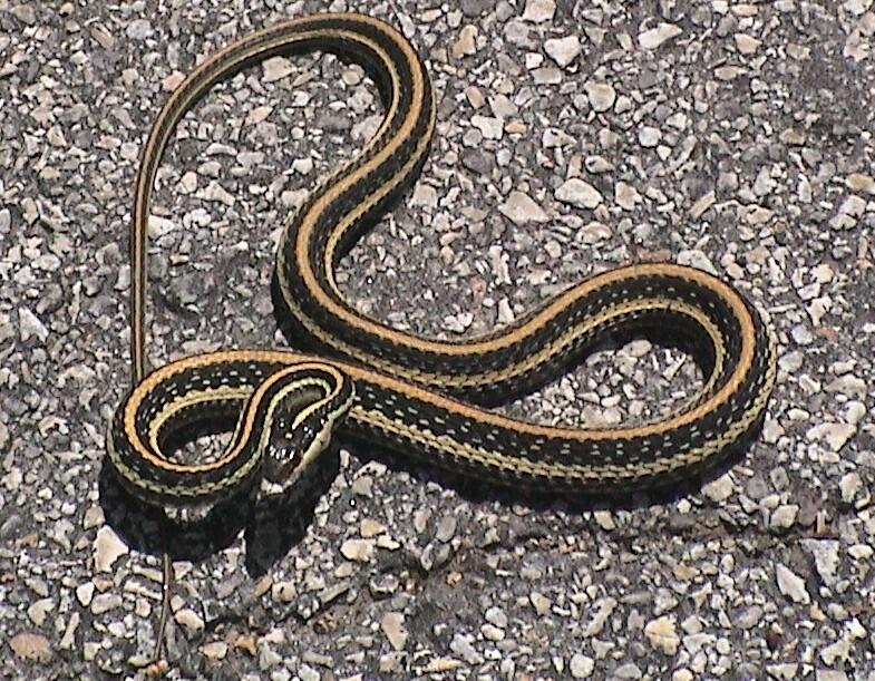 Thamnophis sirtalis 5c571c