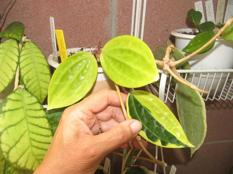 Hooked On Hoya Cubit Hoya Talk Forum White Leaves And Growth Stop
