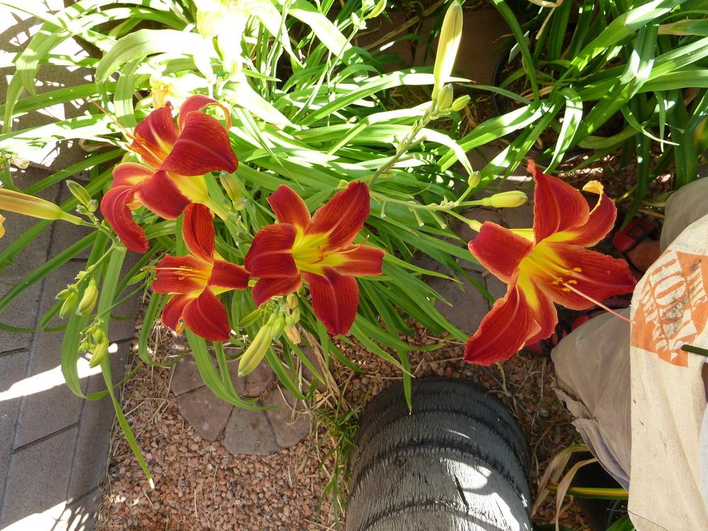 Picture of Live Daylily 'Rosie Meyer' aka Hem. 'Rosie Meyer' (Red) Plant Fit 5 Gallon Pot