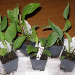 echinacea photos forum garden harvest supply cheyenne spirit coneflowers - Garden Harvest Supply