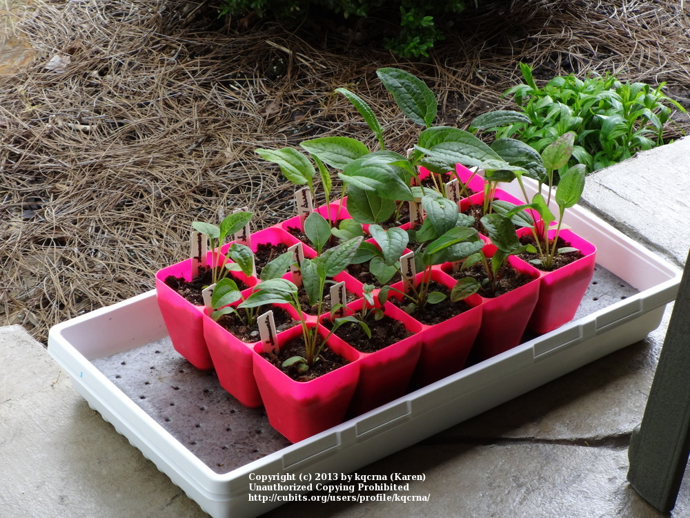 echinaceas cubit  echinacea chat forum  winter sowing cheyenne spirit seeds