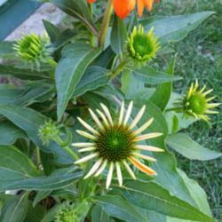 Thumb of 2015-06-23/coneflower620/0f61f8