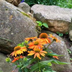 Thumb of 2015-07-03/coneflower620/2ea049