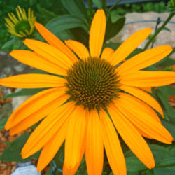 Thumb of 2015-07-21/coneflower620/0ddaea