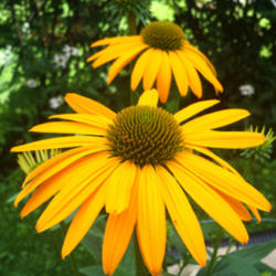 Thumb of 2015-07-21/coneflower620/2ccb9c