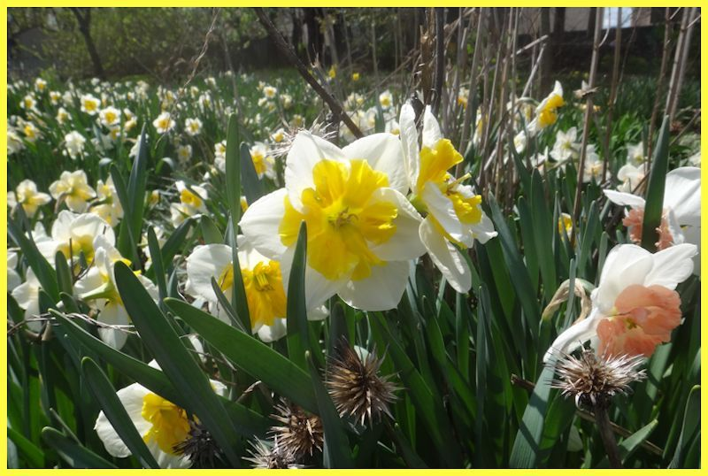 sea of daffodils behind frilly gold and white blooms