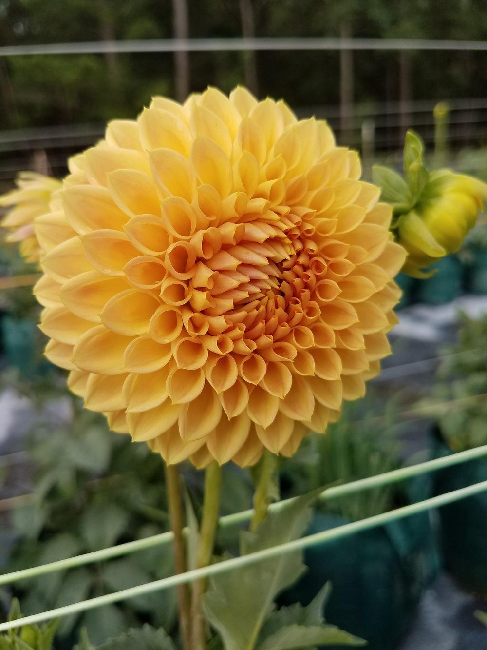 20 Festivalb/änder in Modefarbe lachs blooming dahlia