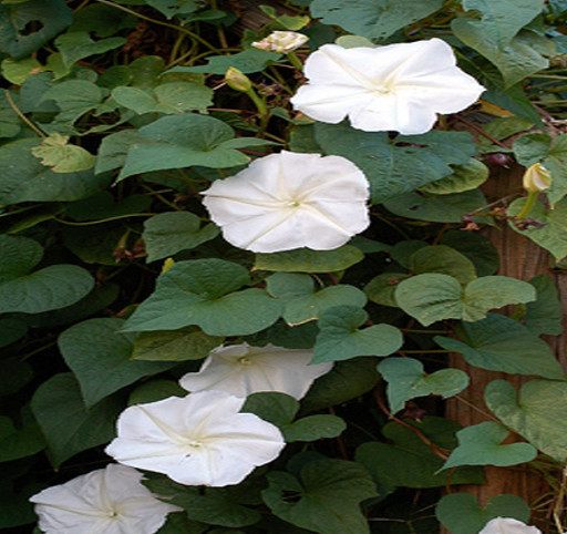 Tricias seeds cubit vines seeds for sale forum giant white thumbnail by gardengirl60 mightylinksfo