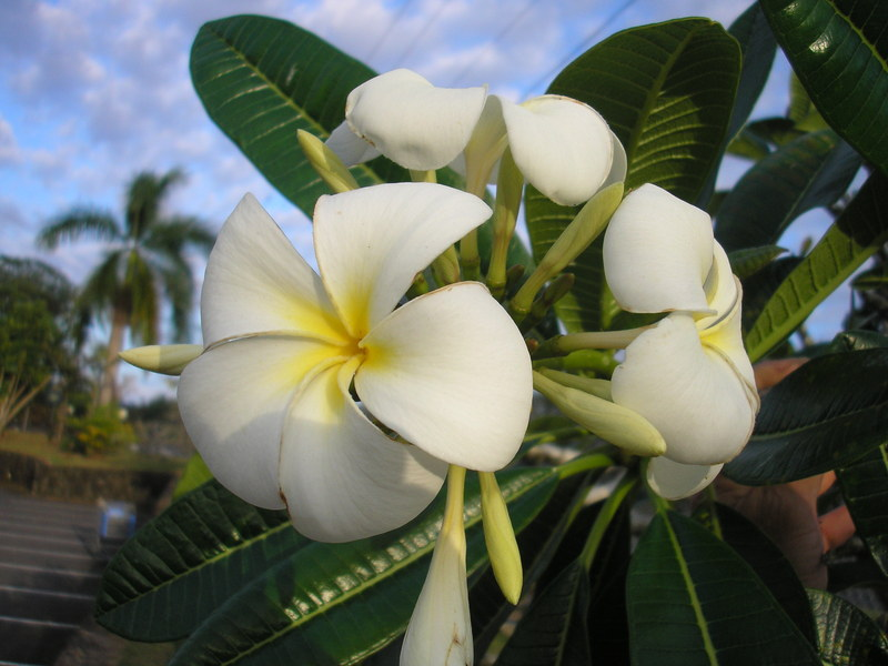 Tropical plant photo dictionary cubit plumeria forum plumeria obtusa thumbnail by metrosideros tropical plant photo dictionary mightylinksfo