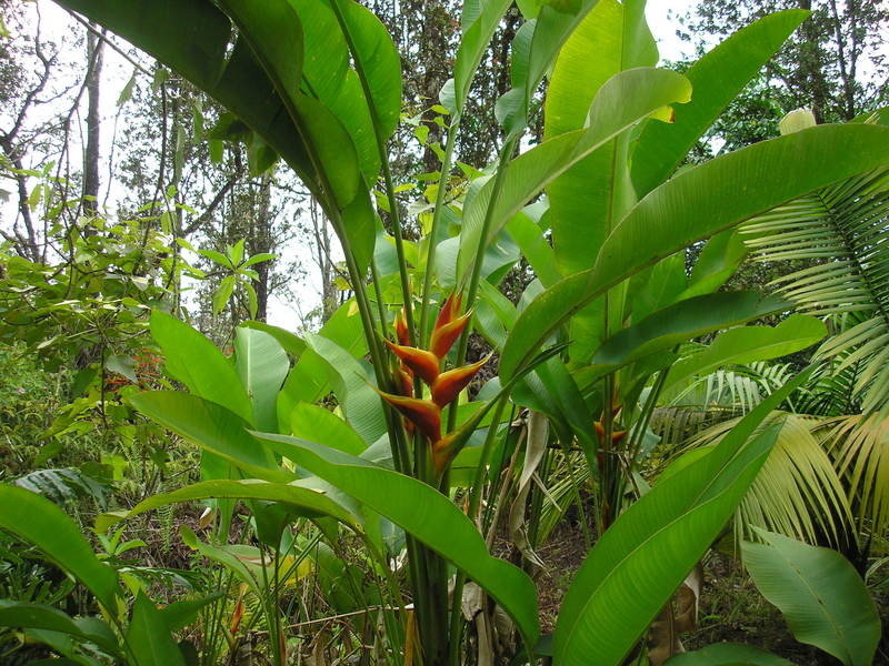 Tropical Plant Photo Dictionary Cubit Heliconia Forum