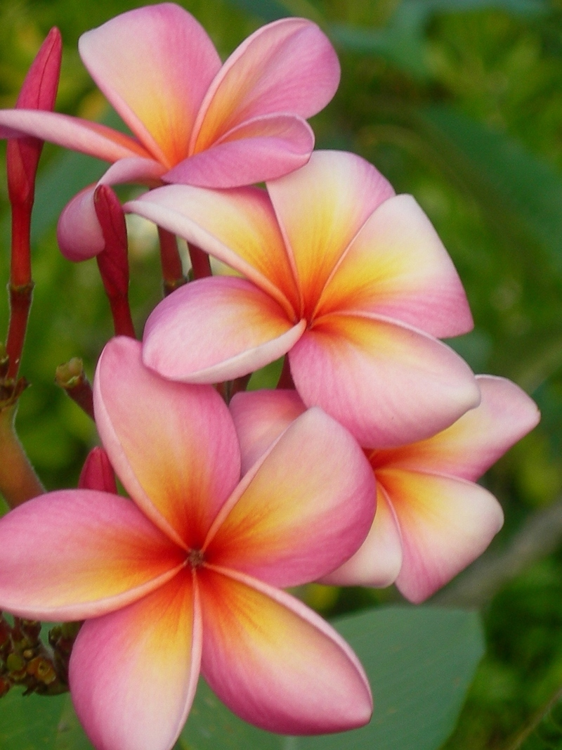 description tahiti tropical flower - photo #44